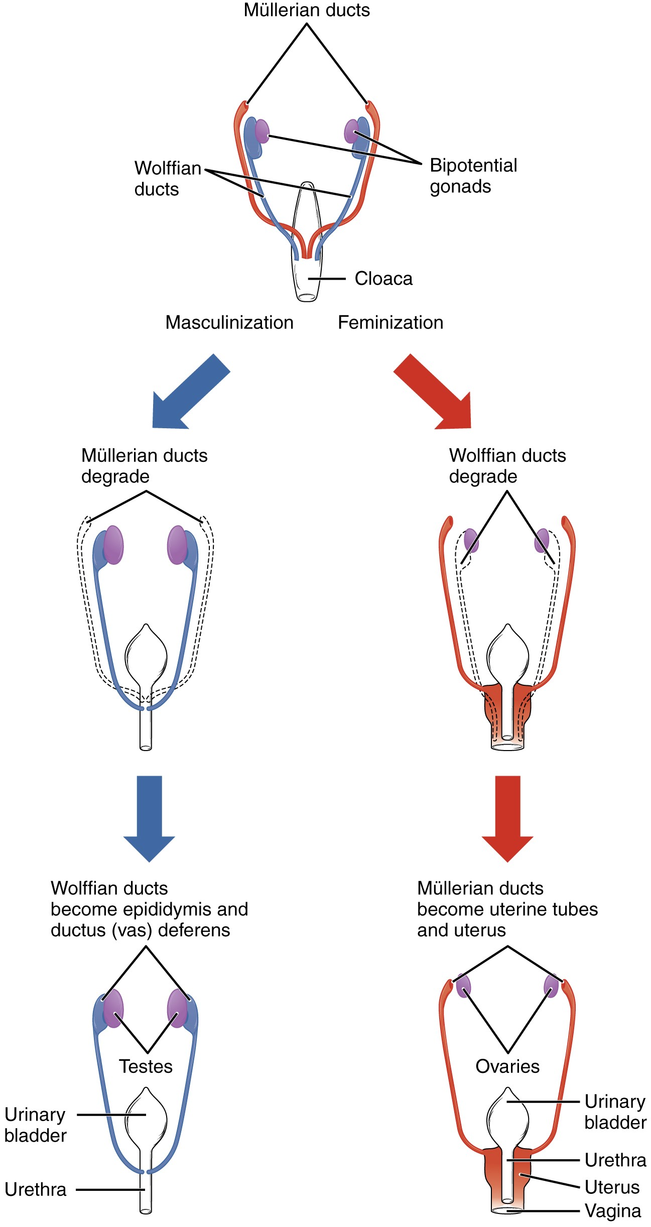 Ou Human Physiology Development Of The Male And Female Reproductive