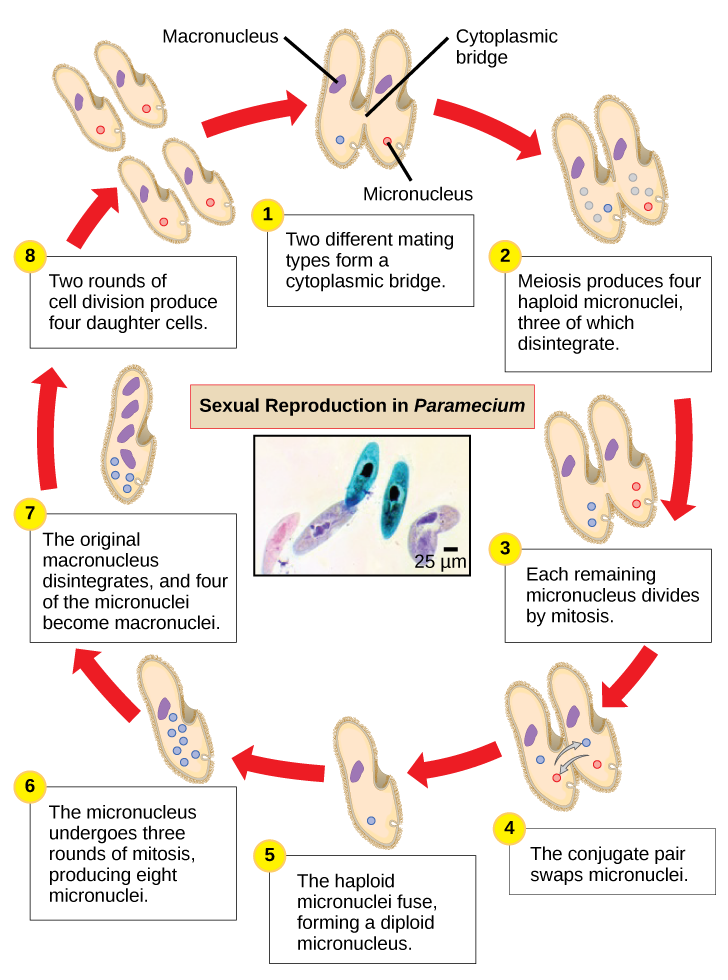 What is asexual reproduction in paramecium called