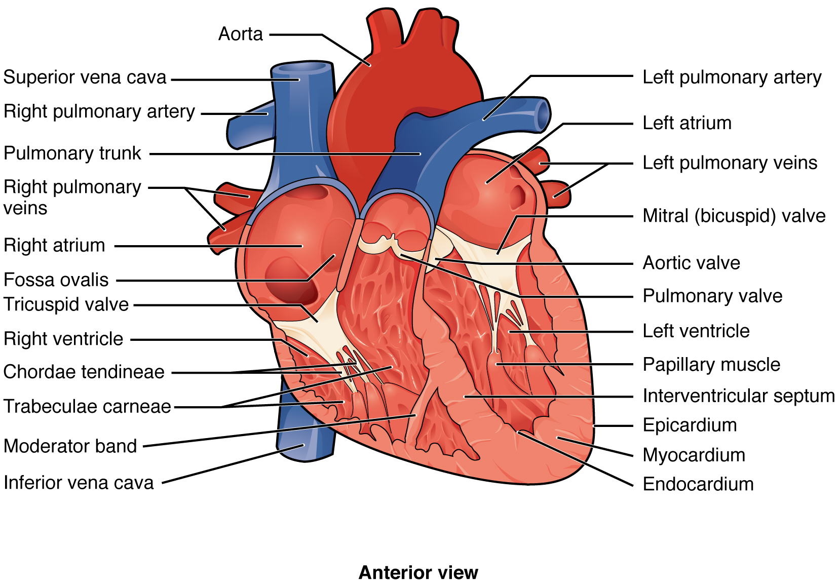 Uga anatomy and physiology 2 lab manual figure 199 internal structures of the heart ccuart Images