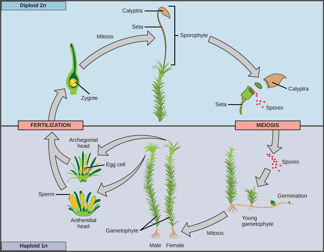 The Plant Kingdom Biology Concepts And Challenges Openstax Cnx Diagram Of Prokaryotic Cell By Mariana Ruiz Sporogenous Tissue Undergoes Meiosis To Produce Haploid 1n Spores Which Germinate Into Young