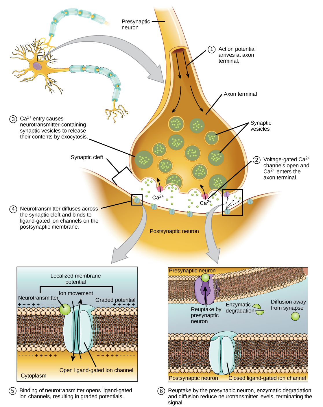 Illustration shows a narrow axon of a presynaptic cell widening into a bulb-like axon terminal. A narrow synaptic cleft separates the axon terminal of the presynaptic cell from the postsynaptic cell. In step 1, an action potential arrives at the axon terminal. In step 2, the action potential causes voltage-gated calcium channels in the axon terminal open, allowing calcium to enter. In step 3, calcium influx causes neurotransmitter-containing synaptic vesicles to fuse with the plasma membrane. Contents of the vesicles are released into the synaptic cleft by exocytosis. In step 4, neurotransmitter diffuses across the synaptic cleft and binds ligand-gated ion channels on the postsynaptic membrane, causing the channels to open. In step 5, the open channels cause ion movement into or out of the cell, resulting in a localized change in membrane potential. In step 6, reuptake by the presynaptic neuron, enzymatic degradation and diffusion reduce neurotransmitter levels, terminating the signal.