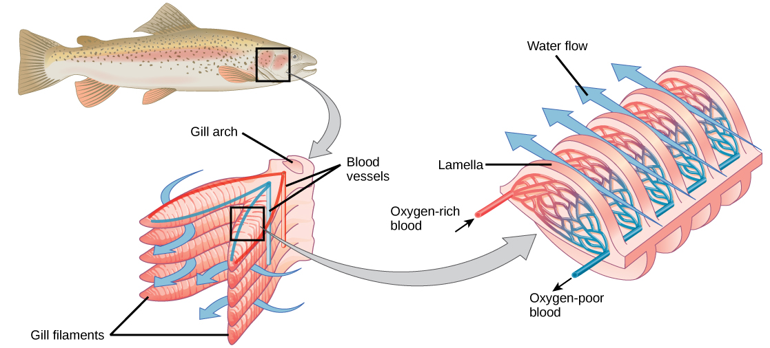 The illustration shows a fish, with a box indicating the location of the gills, behind the head. A close-up image shows the gills, each of which resembles a feathery worm. Two stacks of gills attach to a structure called a columnar gill arch, forming a tall V. Water travels in from the outside of the V, between each gill, then travels out of the top of the V. Veins travel into the gill from the base of the gill arch, and arteries travel back out on the opposite side. A close-up image of a single gill shows that water travels over the gill, passing over deoxygenated veins first, then over oxygenated arteries.