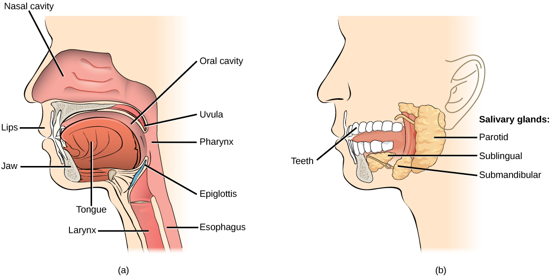 Oral Cavity Contemporary Health Issues