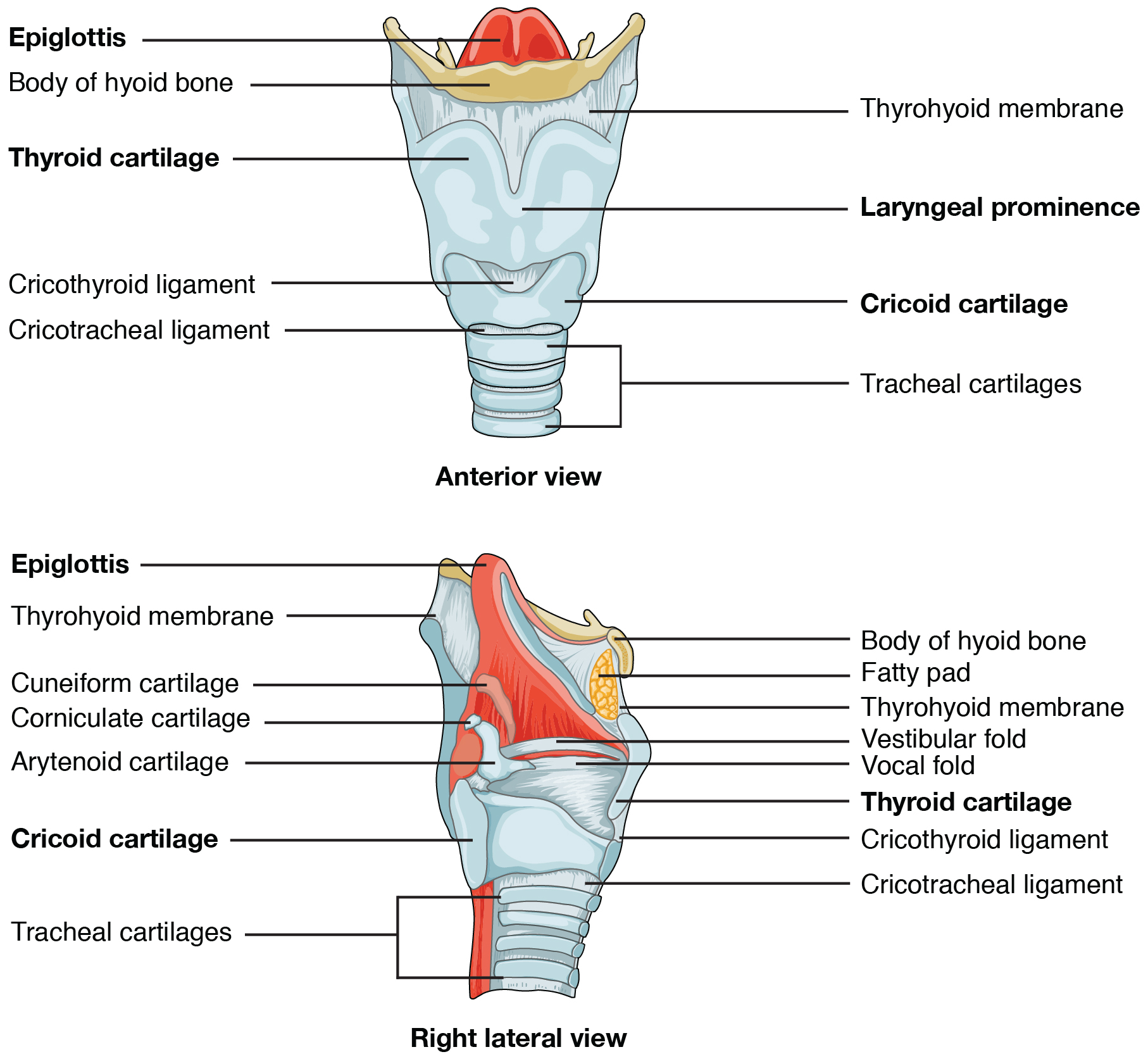 The top panel of this figure shows the anterior view of the larynx, and the bottom panel shows the right lateral view of the larynx.