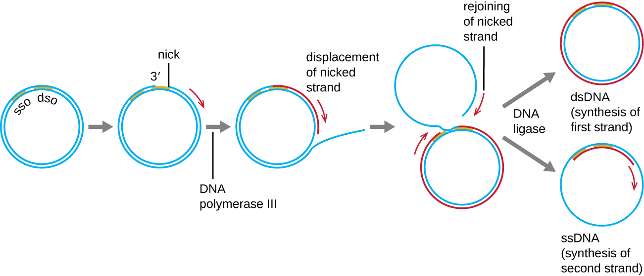 28.when does dna replication occur immediately before asexual reproduction