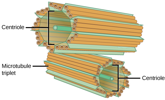 Each centriole resembles a piece of rigatoni pasta in appearance. They are oriented one on top of the other, but are perpendicular to each other. They are cylindrical but their walls are made up of triplets of smaller microtubules.
