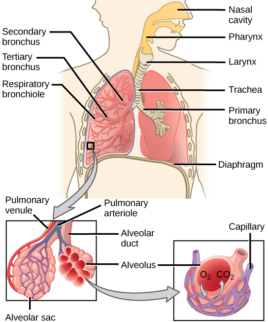 respiratory system answers air enters through