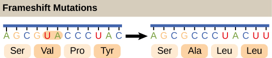 The deletion of two nucleotides shifts the reading frame of an mRNA and changes the entire protein message