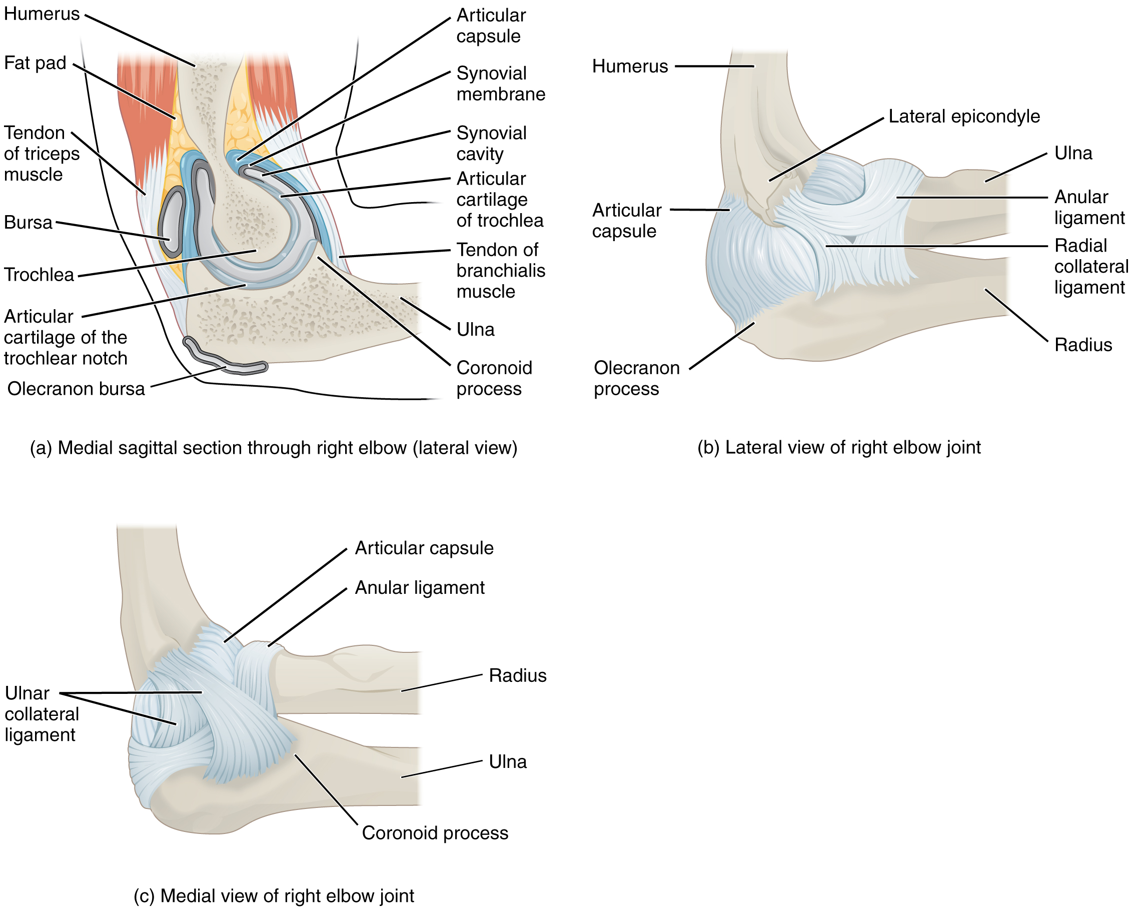 anatomy of selected synovial joints elbow joint