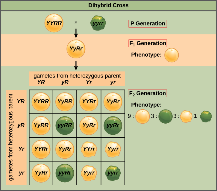 This dihybrid cross of pea plants involves the genes for seed color and texture