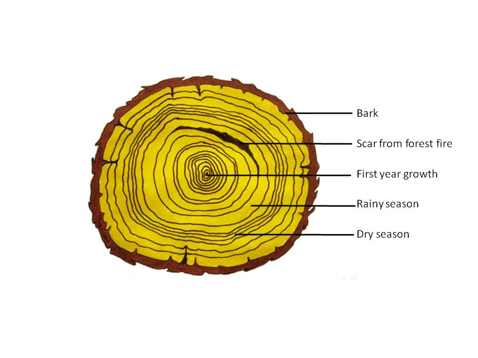 Xylem cell structure diagram free download wiring diagram schematic