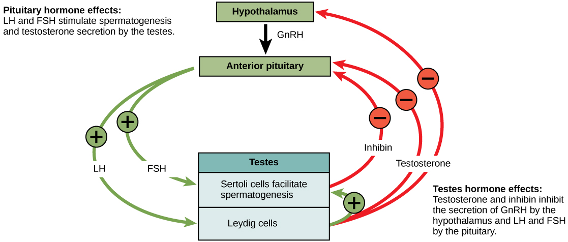 Hormonal control of the male reproductive system is mediated by the hypothalamus, anterior pituitary and testes. The hypothalamus releases GnRN, causing the anterior pituitary to release LH and FSH. FSH and LH both act on the testes. FSH stimulates the Sertoli cells in the testes to facilitate spermatogenesis and to secrete inhibin. LH causes the Leydig cells in the testes to secrete testosterone. Testosterone further stimulates spermatogenesis by the Sertoli cells, but inhibits GnRH, LH, and FSH production by the hypothalamus and anterior pituitary. Inhibin secreted by Sertoli cells also inhibits FSH and LH production by the anterior pituitary.