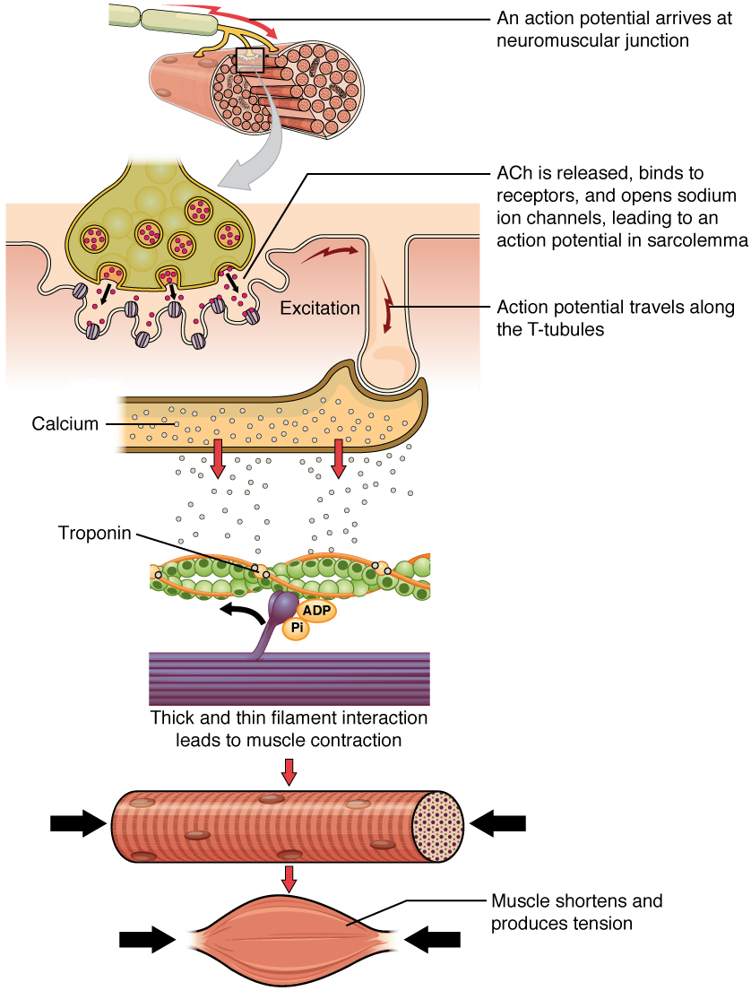 Muscle Fiber Contraction and Relaxation - Derived copy of Anatomy ...