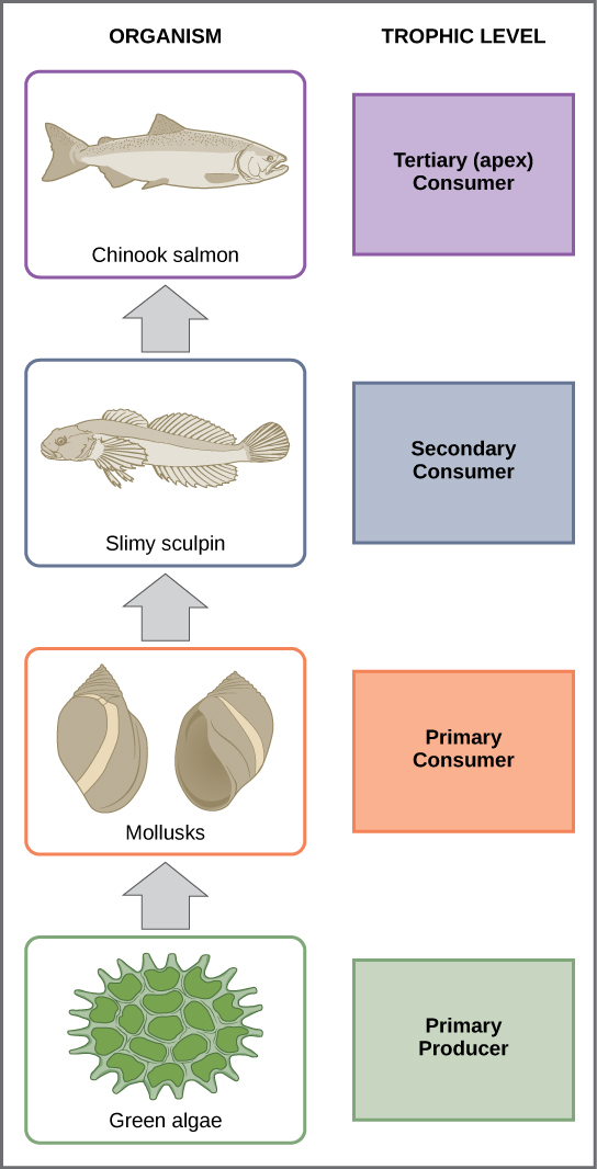 In this illustration the bottom trophic level is the primary producer, which is green algae. The primary consumers are mollusks, or snails. The secondary consumers are small fish called slimy sculpin. The tertiary and apex consumer is Chinook salmon.