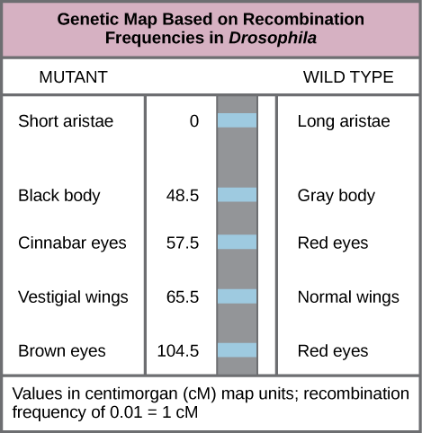 Chromosomal Theory of Inheritance and Genetic Linkage ... on homozygous definition, cell definition, allele definition, hybrid definition, rna definition, genotype definition, autosomes definition, recessive definition, homologous definition, crossing over definition, transcription definition, genome definition, heredity definition, chromosomes definition, offspring definition, mutation definition, genetics definition, nitrogen base definition, trait definition,