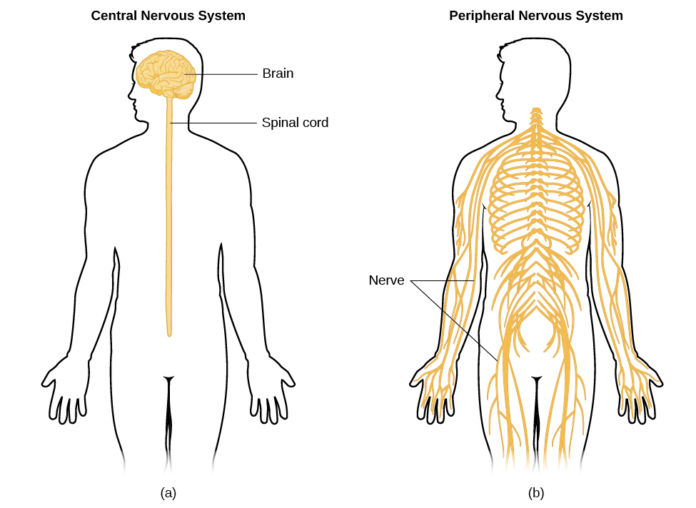 Parts Of The Nervous System Psychology Openstax Cnx