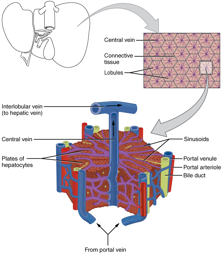 Digestive System Module 6 Accessory Organs In Digestion The Liver