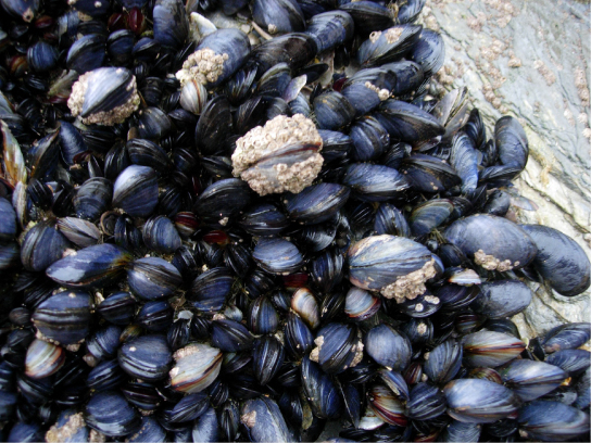 The photo shows black and gray mussels clustered together.
