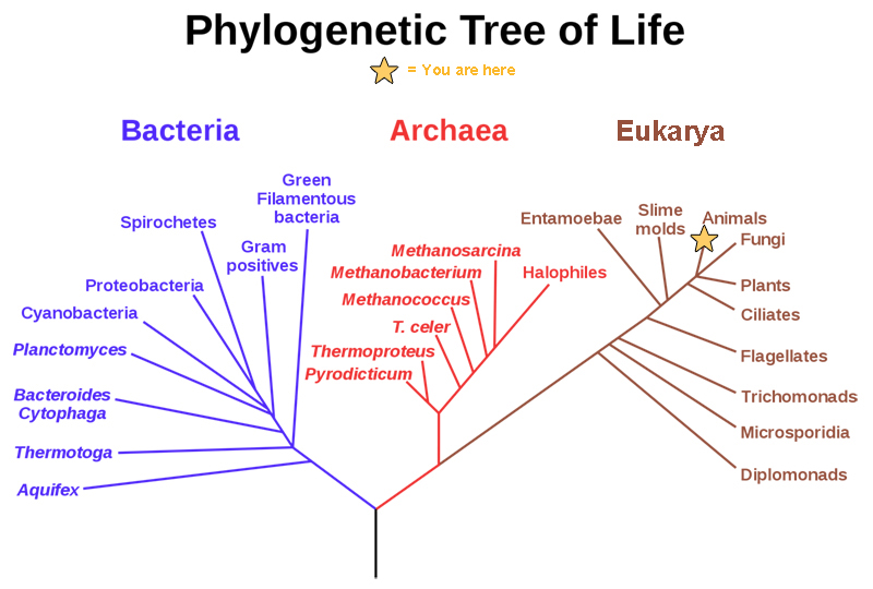 Organizing life on earth simpler biology concepts and challenges this phylogenetic tree shows that the three domains of life bacteria archaea and eukarya ccuart Image collections