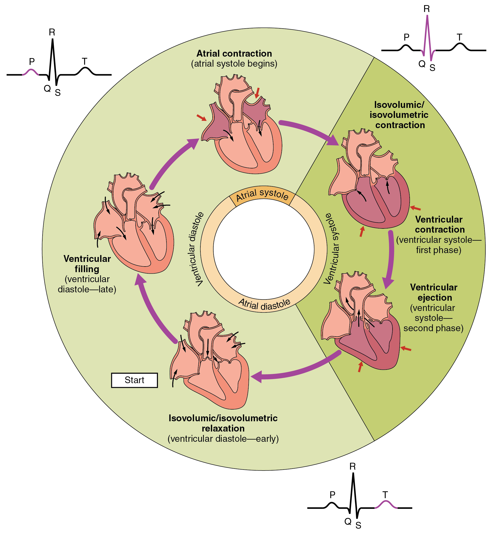 Cardiac Cycle - Human Physiology - OpenStax CNX