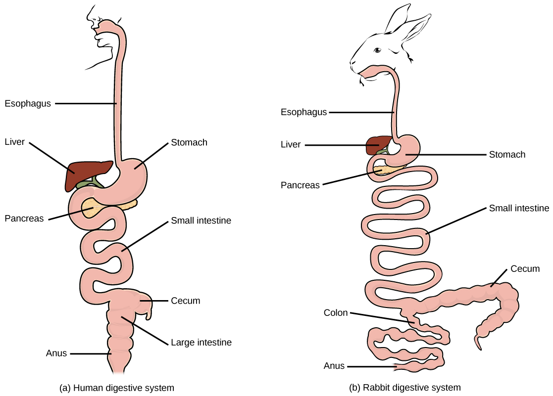 Digestive Systems Boundless Biology