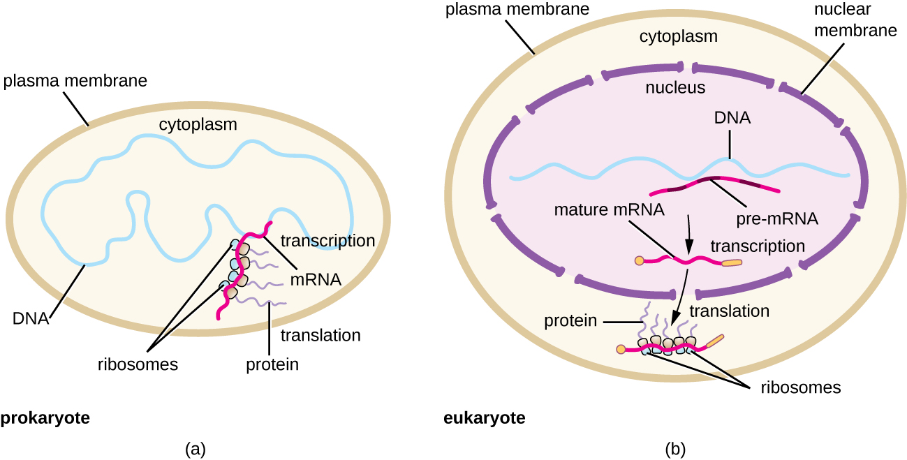 OSC_Microbio_11_04_ProkEuk protein synthesis (translation)