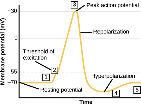 Graph plots membrane potential in millivolts versus time. The membrane remains at the resting potential of -70 millivolts until a nerve impulse occurs in step 1. Some sodium channels open, and the potential begins to rapidly climb past the threshold of excitation of -55 millivolts, at which point all the sodium channels open. At the peak action potential, the potential begins to rapidly drop as potassium channels open and sodium channels close. As a result, the membrane repolarizes past the resting membrane potential and becomes hyperpolarized. The membrane potential then gradually returns to normal.