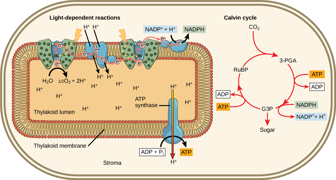 The Light Independent Reactions Of Photosynthesis Boundless Biology