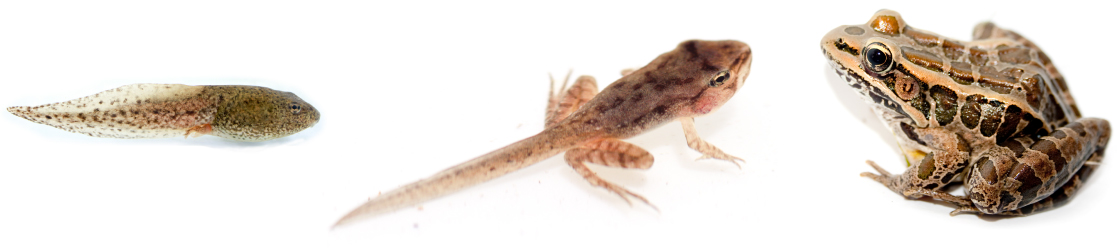 Photo A shows a tadpole. Photo b shows a frog that has developed legs but still has the tail of a tadpole. Photo C shows a fully grown frog.