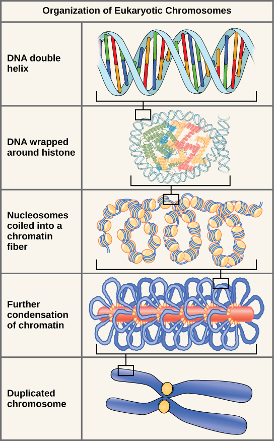 Illustration shows the levels of organization of eukaryotic chromosomes, starting with the DNA double helix, which wraps around histone proteins. The entire DNA molecule wraps around many clusters of histone proteins, forming a structure that looks like beads on a string. The chromatin is further condensed by wrapping around a protein core. The result is a compact chromosome, shown in duplicated form.