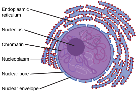 The nucleus is surrounded by diffuse structures called the endoplasmic reticulum. These are littered with round structures throughout. The outer covering of the nucleus is the nuclear envelope, which has nuclear pores. The nucleus is filled with nucleoplasm, in which is embedded the dark, circular nucleolus and spaghetti-like strands of chromatin.