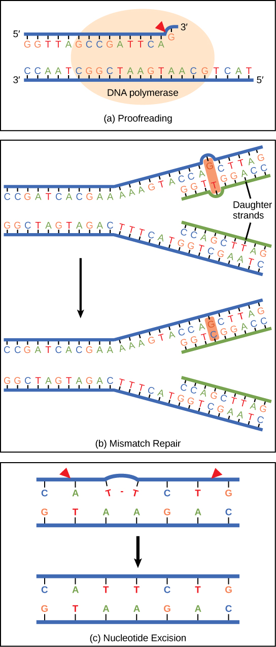 explain how dna serves as its own template during replication.html