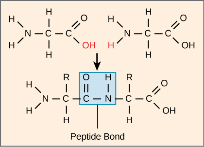 The formation of a peptide bond between two amino acids is shown. When the peptide bond forms, the carbon from the carbonyl group becomes attached to the nitrogen from the amino group. The OH from the carboxyl group and an H from the amino group form a molecule of water.