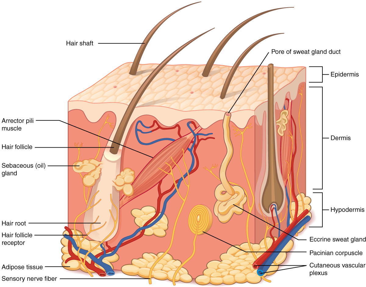 This illustration shows a cross section of skin tissue.