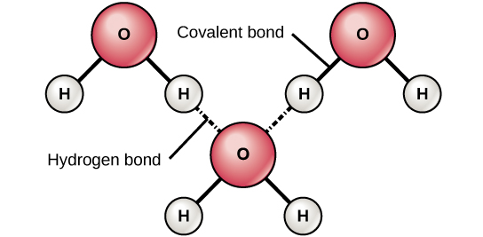 Diagram showing hydrogen bonds formed between adjacent water molecules.