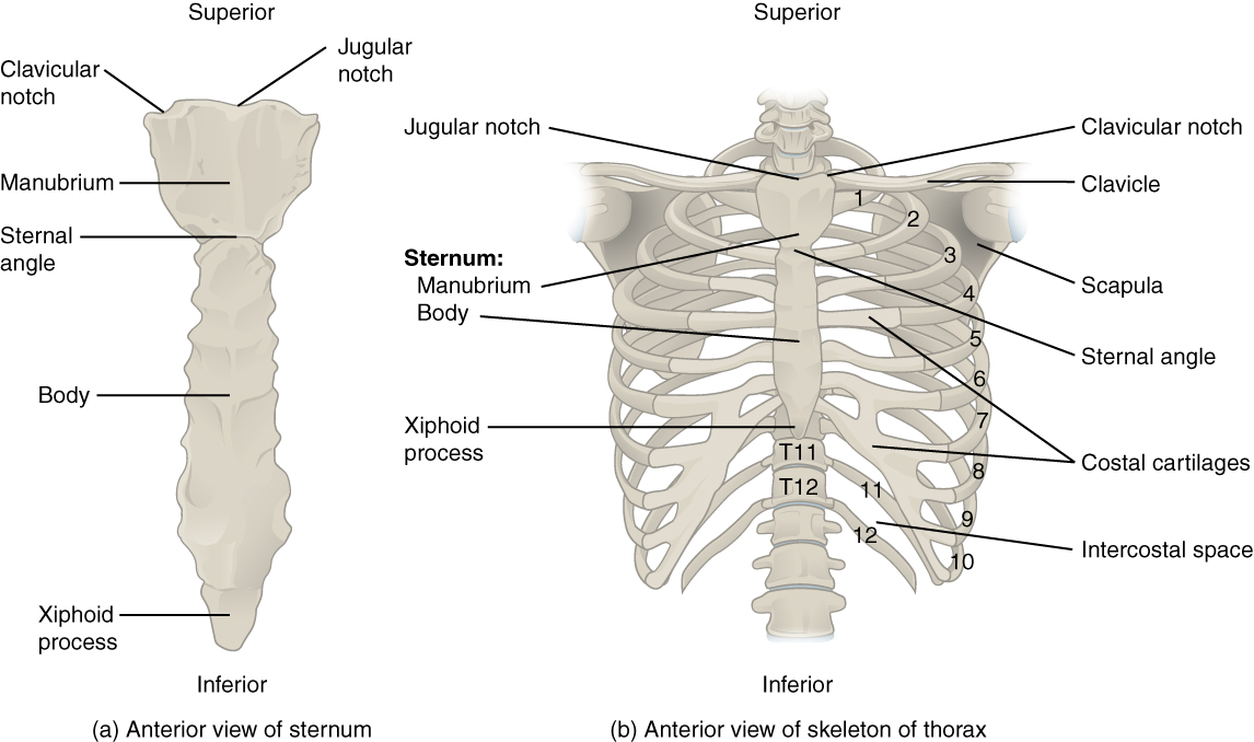 The thoracic cage – the ribs and sternum | Human Anatomy and ...