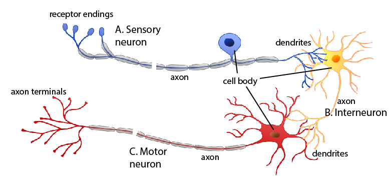 Diagram Of Sensory Inter And Motor Neurons