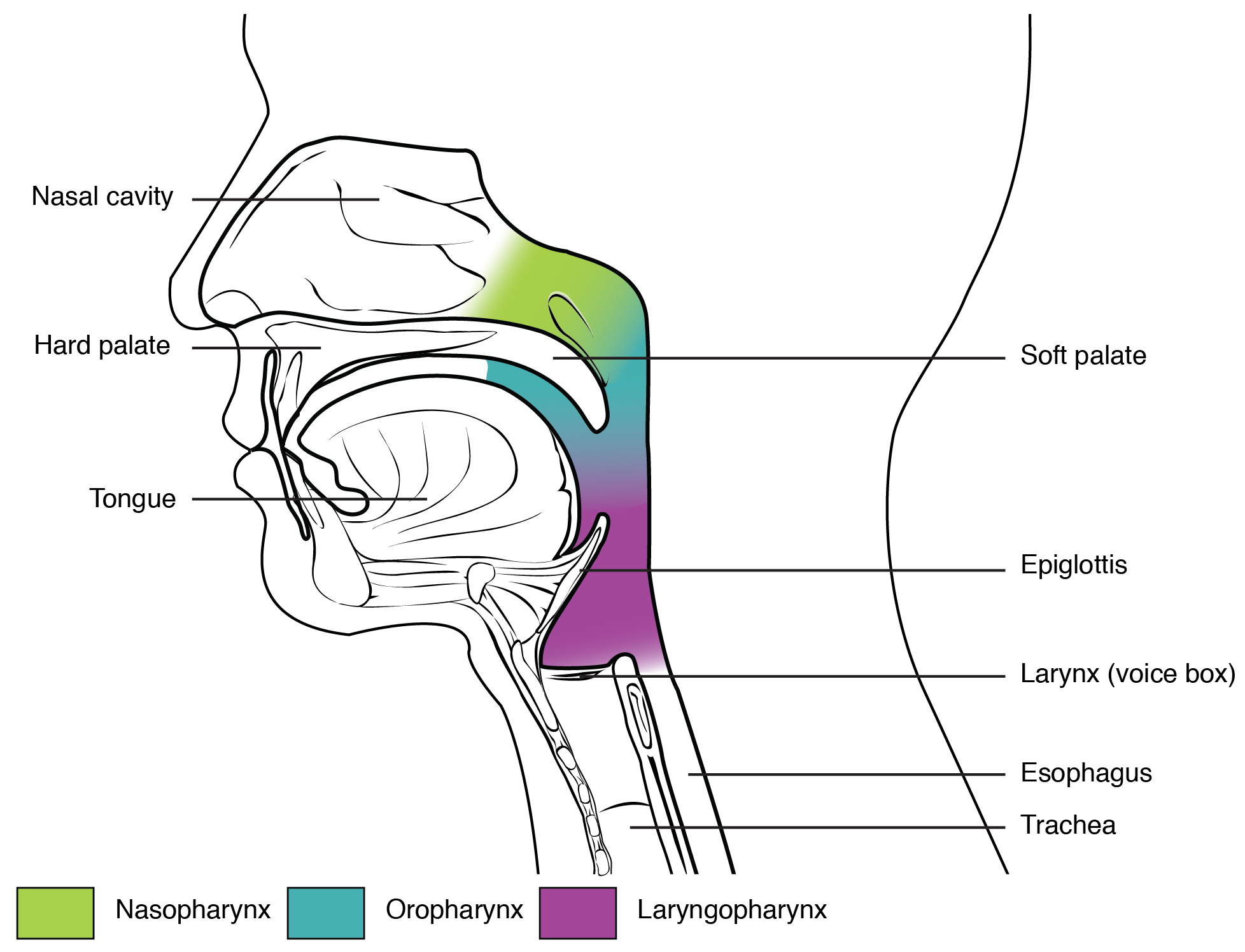 pharynx contemporary health issues Diagram of Maxillary Sinuses