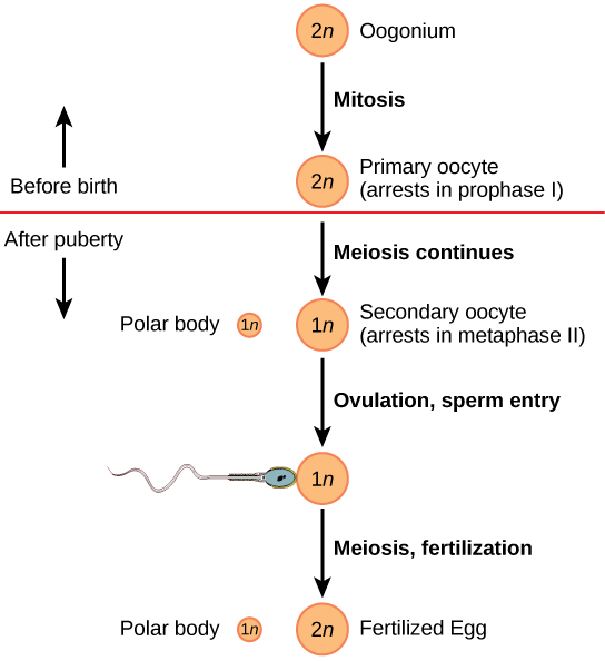 Oogenesis begins when the 2n oogonium undergoes mitosis, producing a primary oocyte. The primary oocytes arrest in prophase I before birth. After puberty, meiosis of one oocyte per menstrual cycle continues, resulting in a 1n secondary oocyte that arrests in metaphase II and a polar body. Upon ovulation and sperm entry, meiosis is completed and fertilization occurs, resulting in a polar body and a fertilized egg.