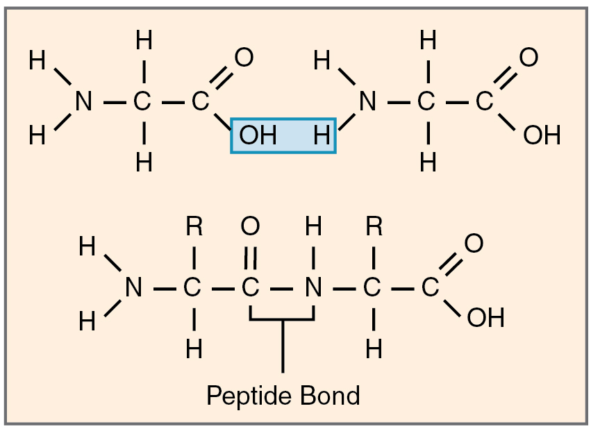 Peptide bond, Condensation reaction and Amino acids on ...
