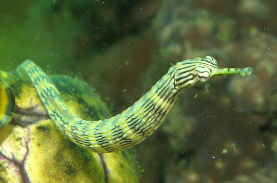 (b) shows a pipefish, which is green and tubular with a long snout.