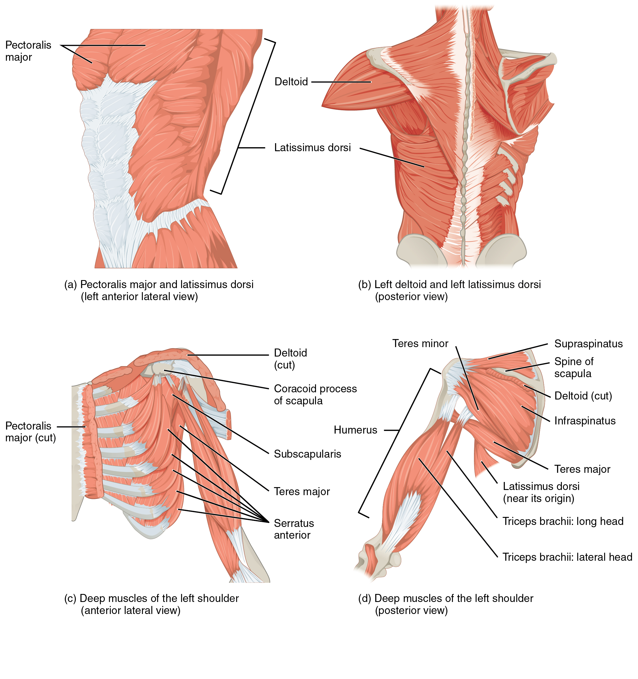 Muscles Of The Pectoral Girdle And Upper Limbs Anatomy