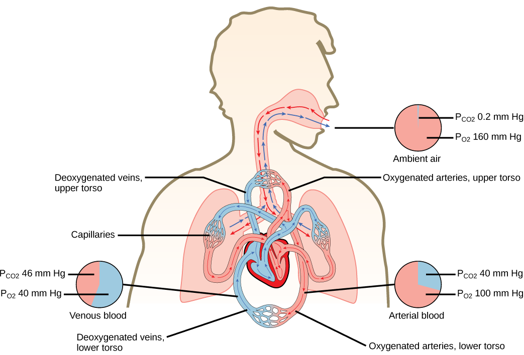 Gas Exchange Across Respiratory Surfaces Boundless Biology