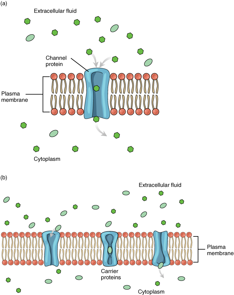 cell membranes and transport Every cell is surrounded by a membrane, which ensures the internal biochemical milieu and regulates the exchange of substances with its surroundings in every cell membrane, there are a large number of transporters that allow.