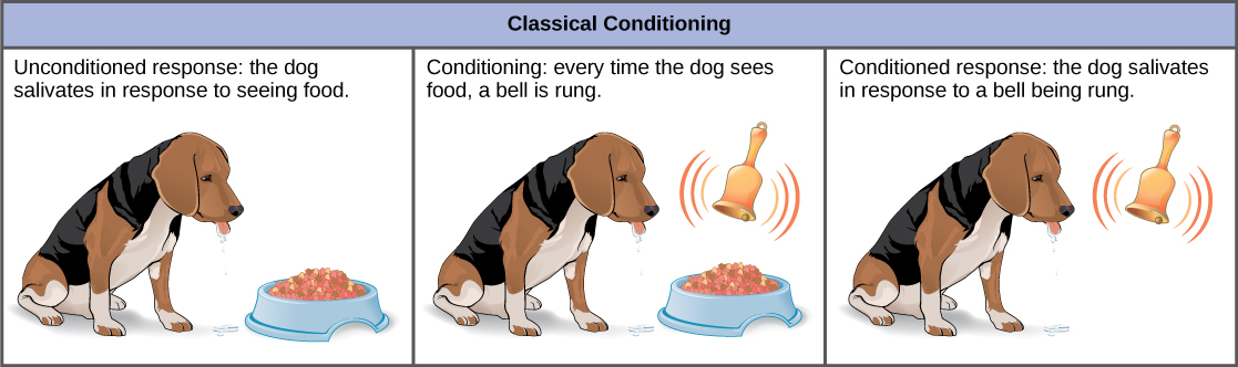 In the unconditioned response, a dog salivates in response to seeing food. The dog is then conditioned by the ringing of a bell every time it sees food. After conditioning, the dog salivates in response to the bell, even if no food is present. This is called a conditioned response.