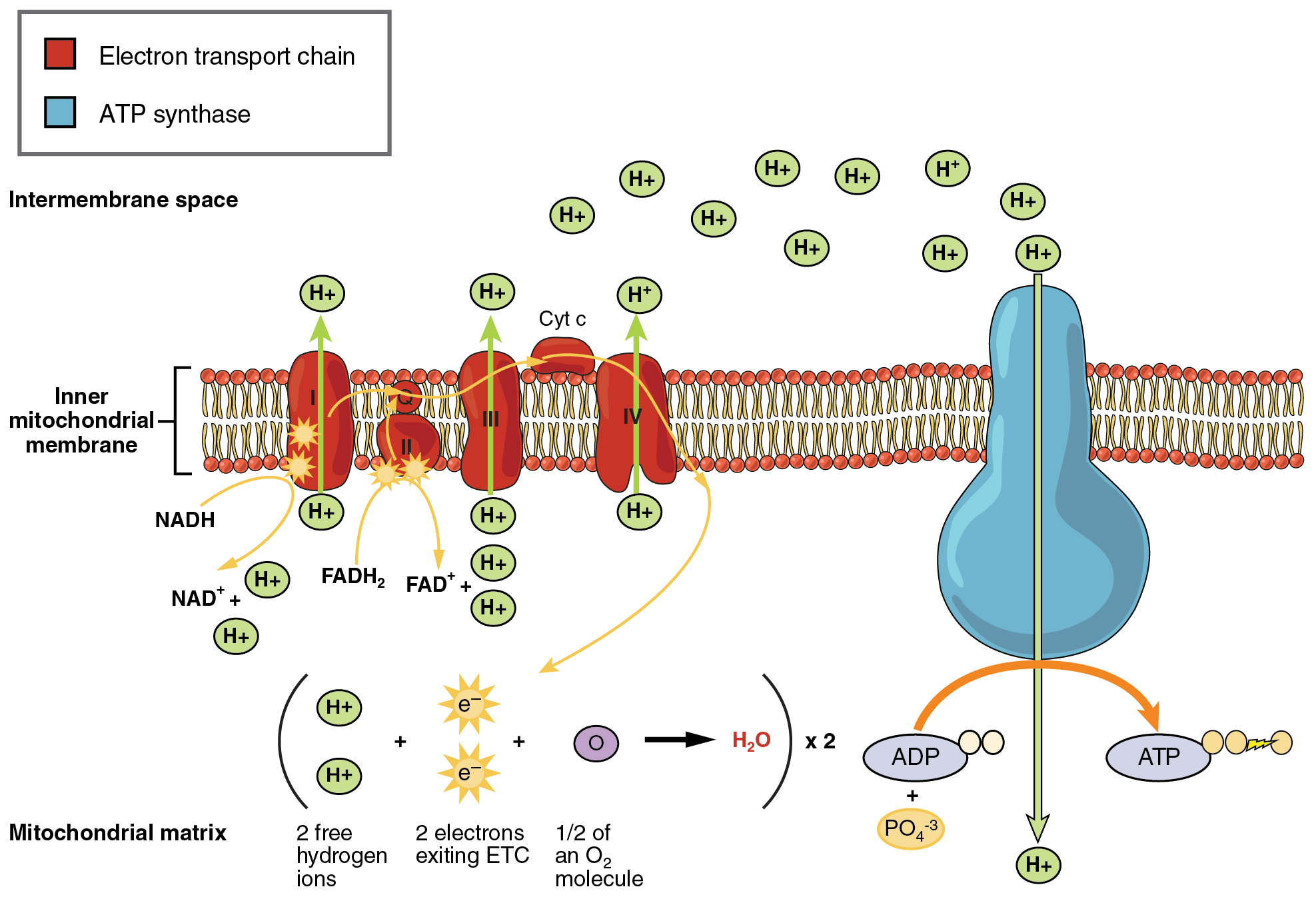 How are mitochondria analogous to hydraulic dams? | eNotes