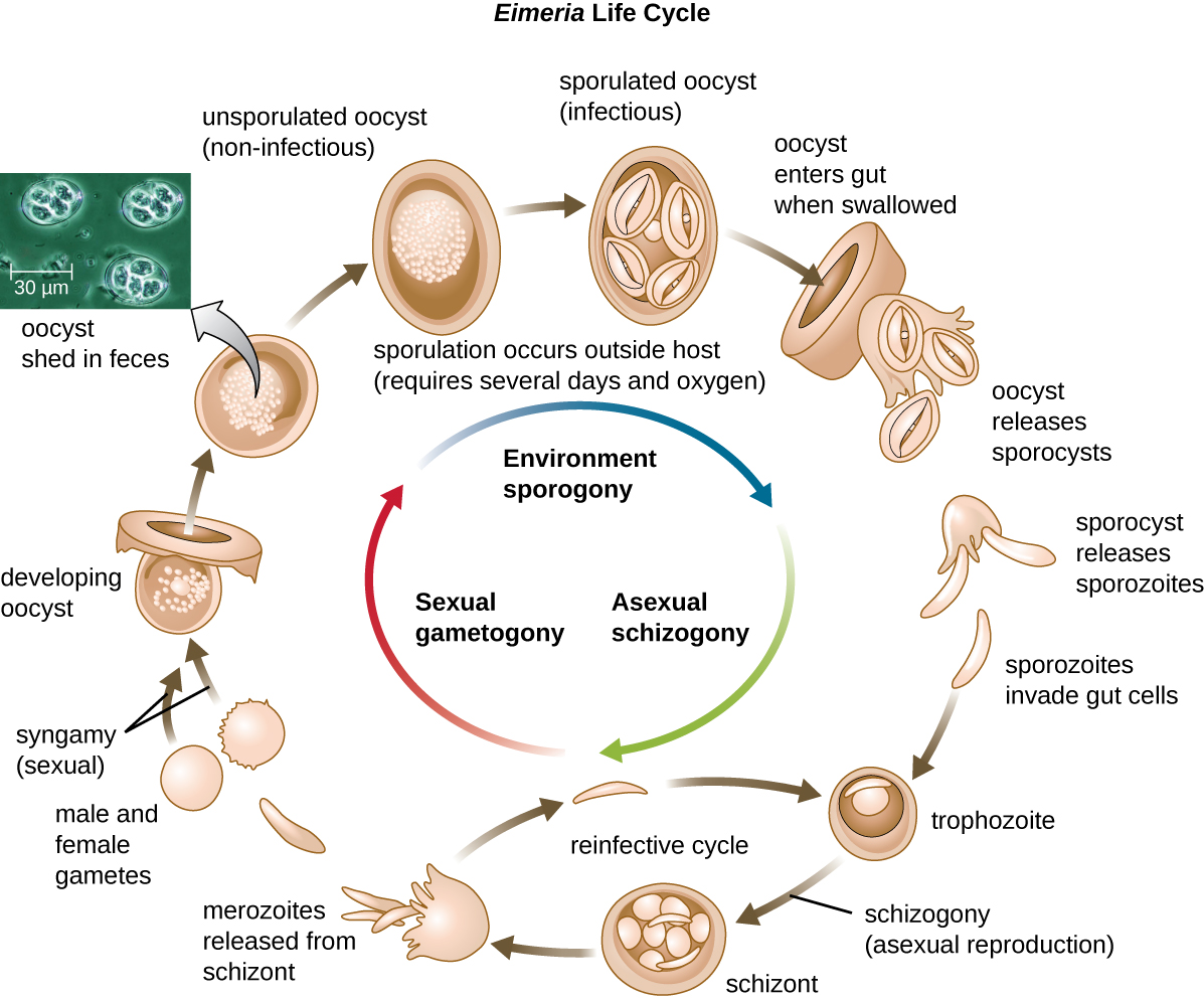 Sporogony asexual and sexual reproduction