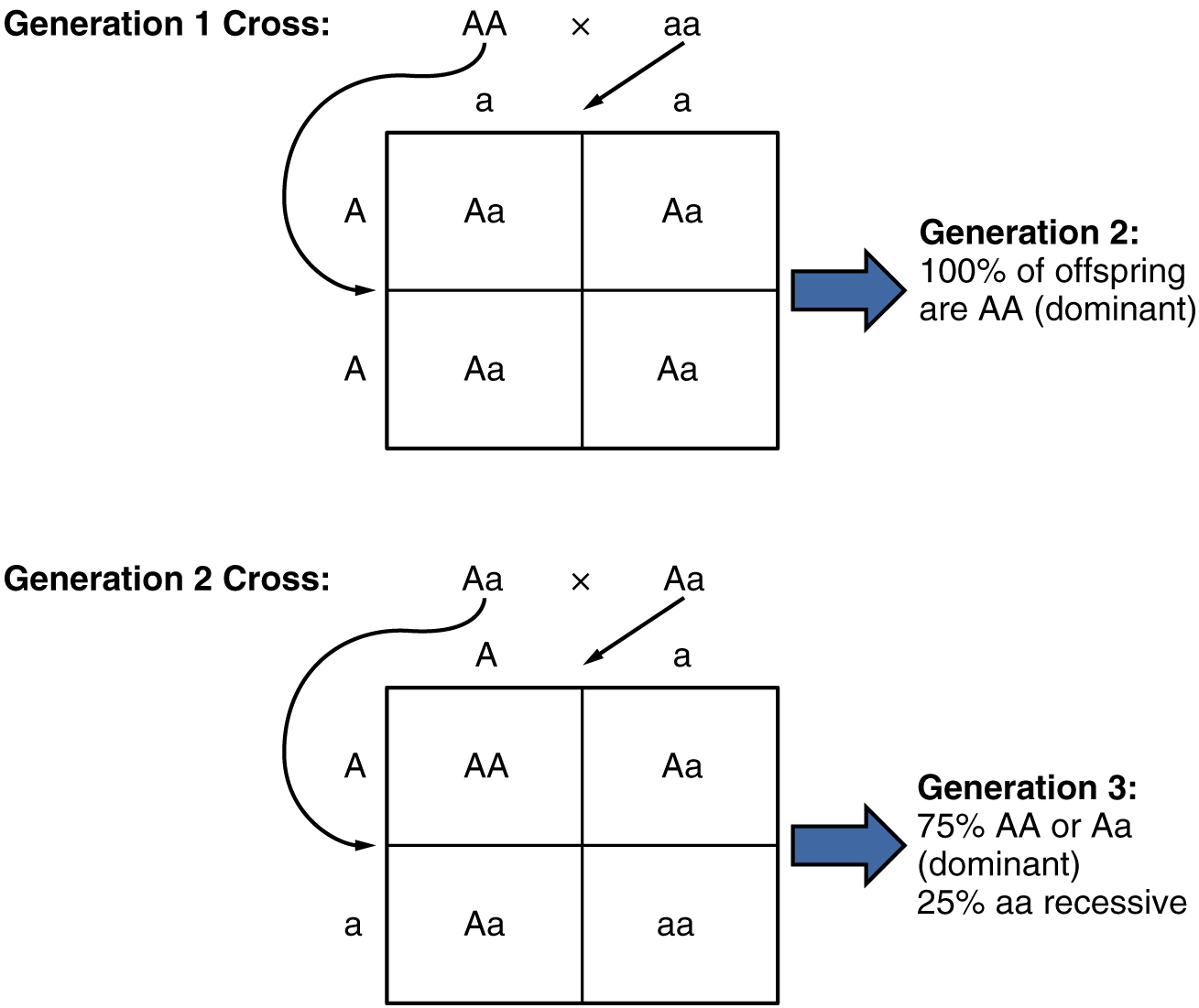 This diagram shows the genetics experiment conducted by Mendel. The top panel shows the offspring from first generation cross and the bottom panel shows the offspring from the second generation cross.