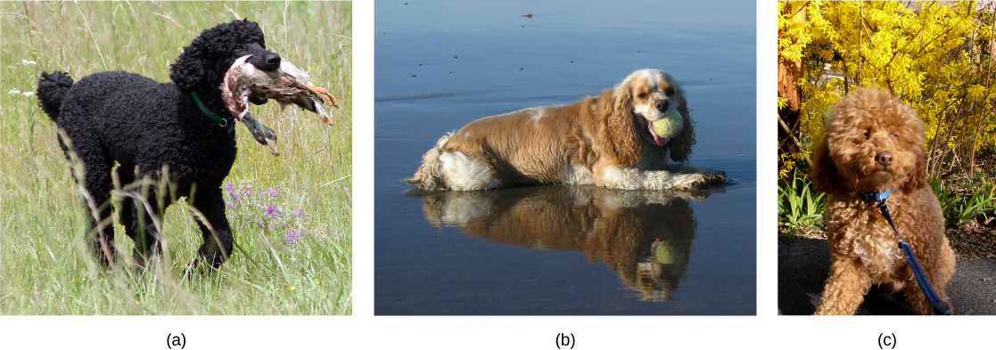 Photo a shows a poodle with curly short fur. Photo b shows a cocker spaniel with long, wavy fur that has light brown parts and cream-colored markings on the face, forepaws, belly, hind legs, and tail. The poodle has longer legs than the cocker spaniel. The cockapoo in photo c has curly hair, like the poodle, and short legs, like the cocker spaniel.
