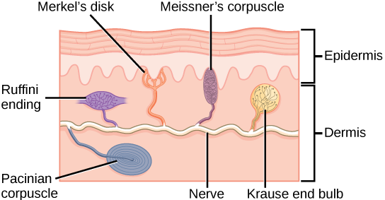 Illustration shows the location of various mechanoreceptors in a cross section of the epidermis and dermis. A nerve runs along the middle of the dermis, and all the mechanoreceptors are connected to it. Ruffini endings, Merkel's disks, and Meissner's corpuscles are all located in the upper dermis above the nerve. Ruffini endings are bulbous, horizontal mechanoreceptors located in the middle of the upper dermis. Meissner's corpuscles are bulbous, vertical mechanoreceptors that touch the bottom of the epidermis. Merkel's disks have finger-like projections that also touch the bottom of the epidermis. The last type of mechanoreceptor, Pacini corpuscles, are oval mechanoreceptors located in the lower dermis.